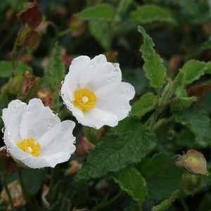 Cistus Hybridus White Rockrose Drought Tolerant