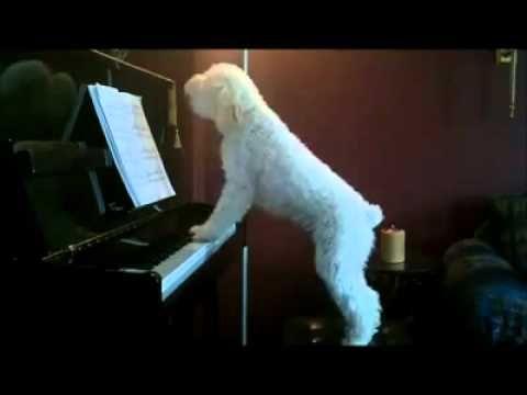 Genius singing, piano playing dog!