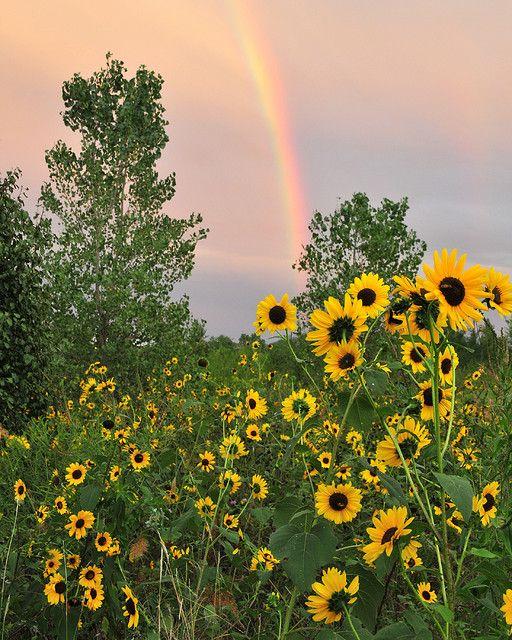 Rainbow Sunflowers Sunflower Pictures Sunflower Fields Sunflowers And Daisies