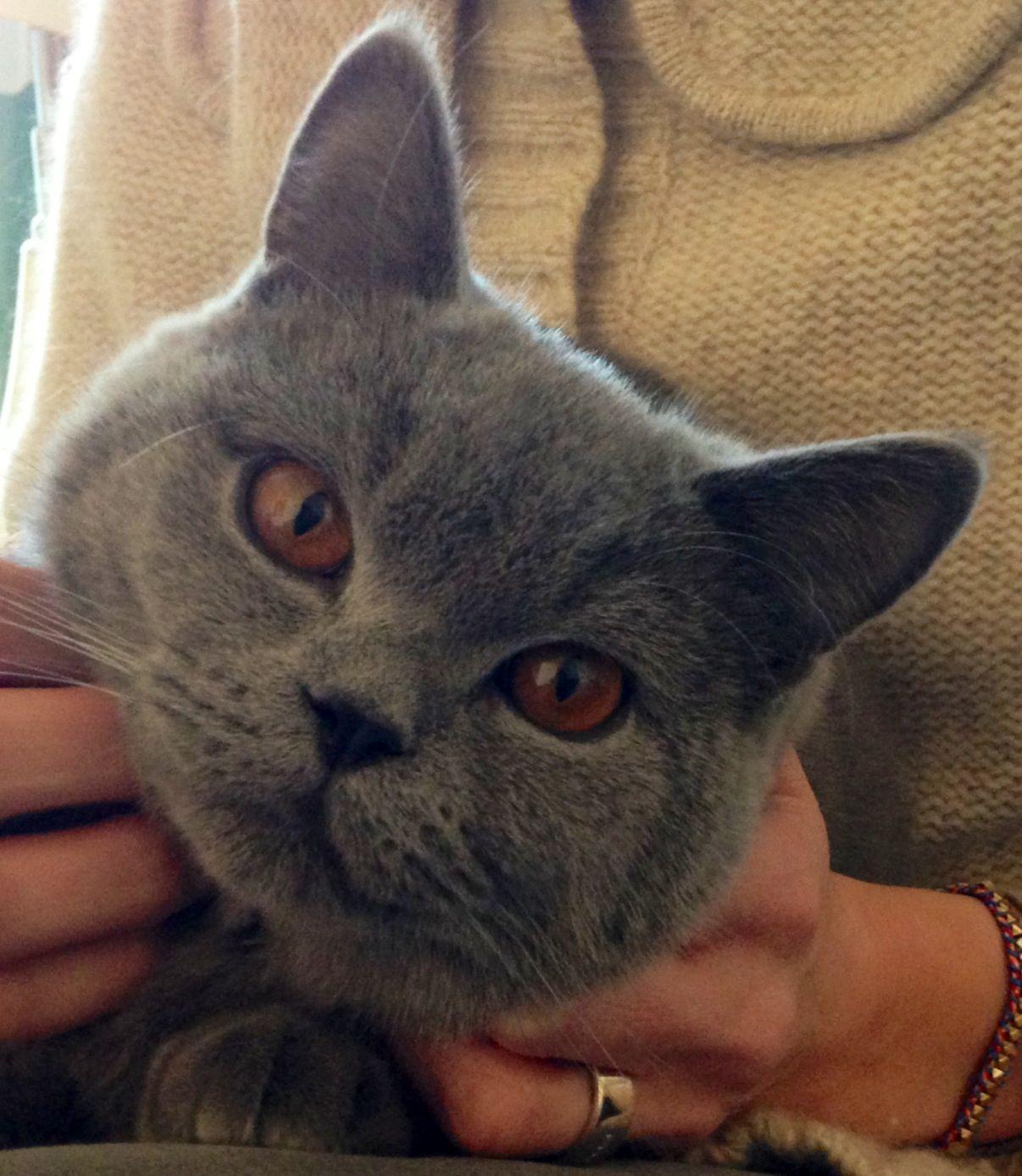 The golden eyes of the blue british shorthair. Hikari was