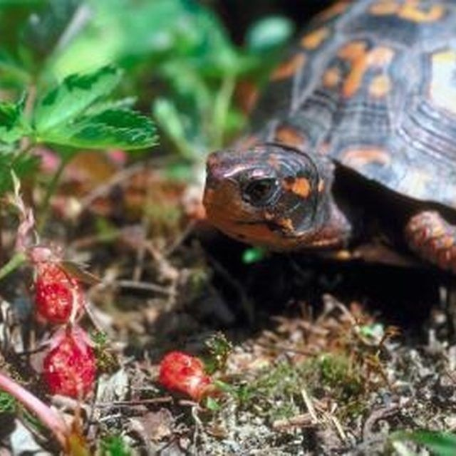Plants That Are Poisonous To Box Turtles Pet Turtle Turtle