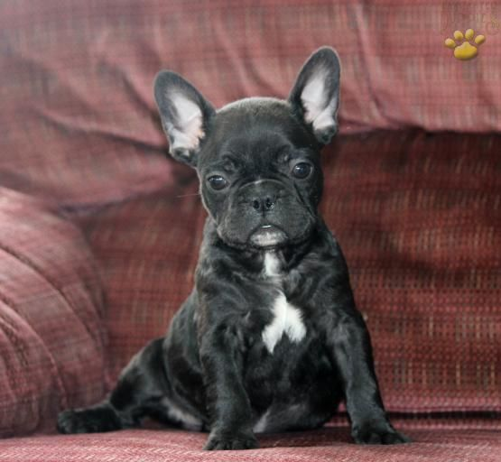 Frankie French Bulldog Puppy For Sale In Ronks Pa Lancaster