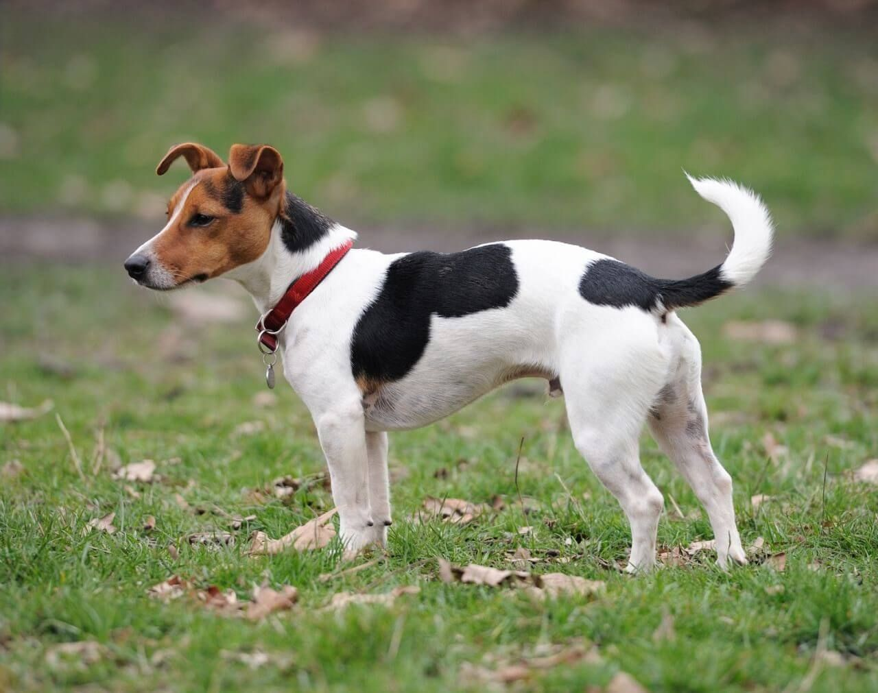 Jack Russell Terrier Jack Russell Dogs Jack Russell Jack Russell Terrier Puppies
