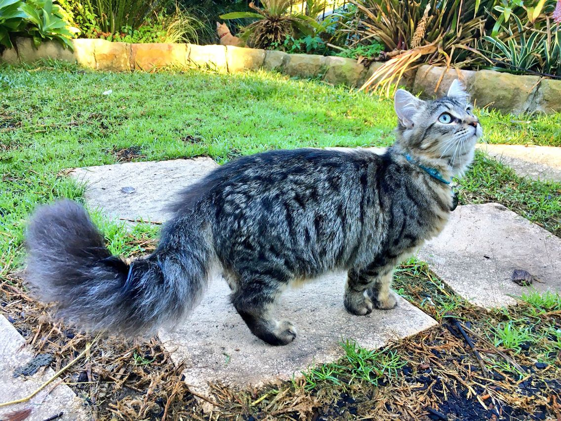 That Bushy Tail Kitten Cat Cat Breeds Cats Cute Animals
