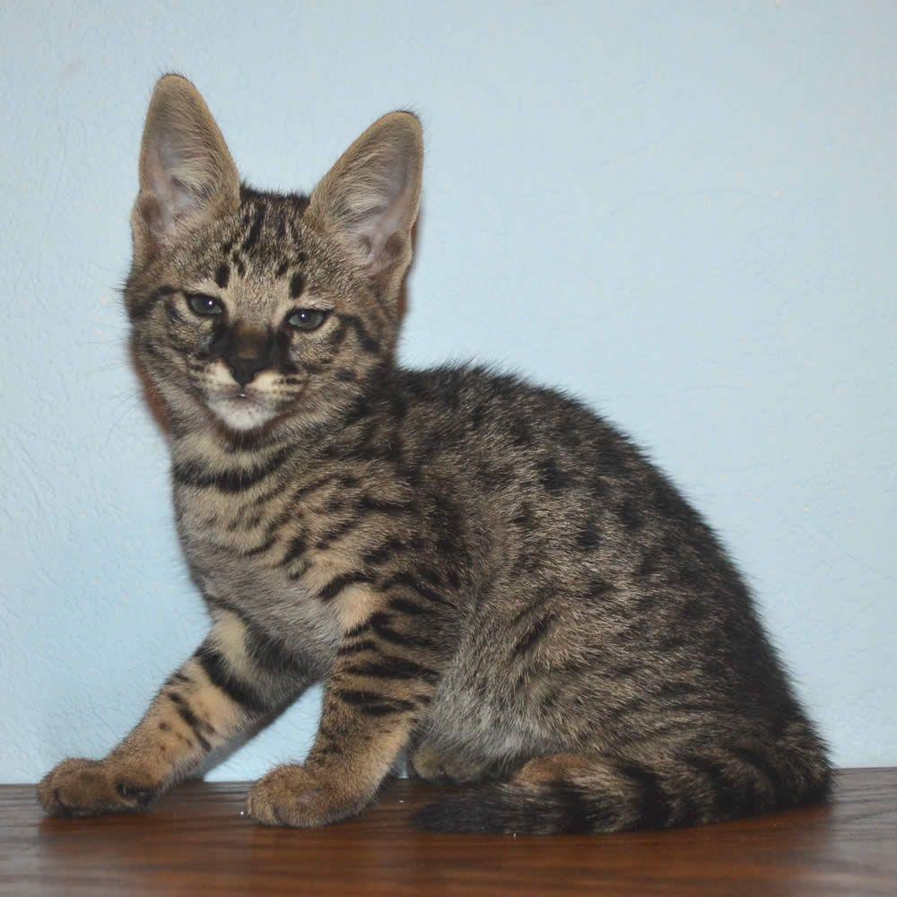 F2 Savannah Kittens Available In Ohio Savannah Cats Call 419 550
