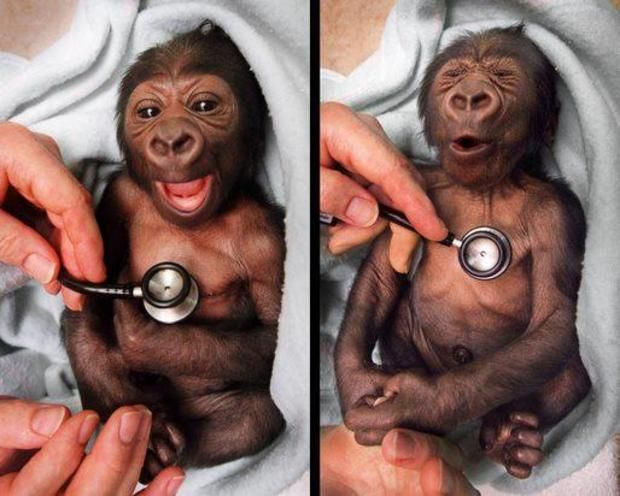 Newborn baby gorilla at Melbourne Zoo reacts to the coldness of the stethoscope
