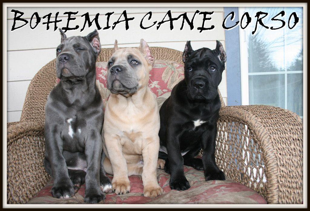 Img 4514 Cane Corso Puppies Cane Corso Puppies