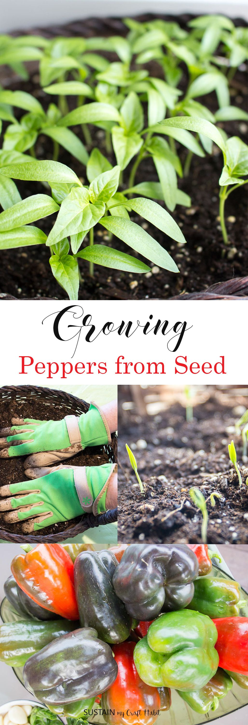 Growing peppers from seed growing peppers stuffed