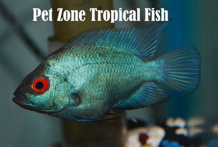 Thai Silk #Flowerhorn For Sale!