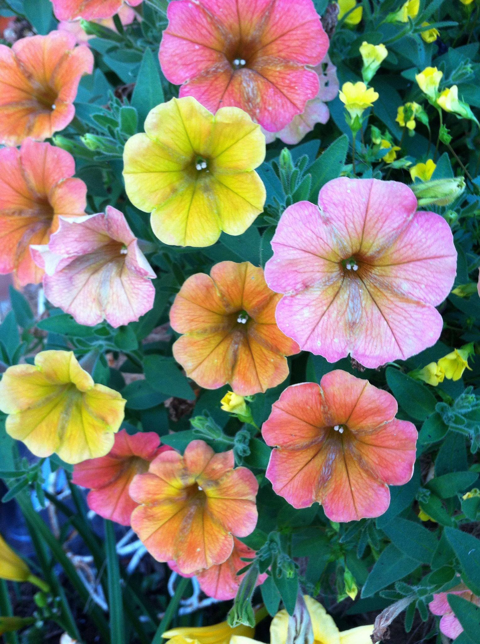 Cascadia Indian Summer Petunia Petunias Flowers Garden Gates