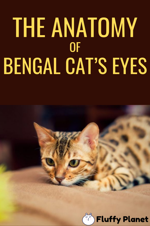 Do Bengal Cat's Eyes Change Color? [ 2020 ] Bengal cat