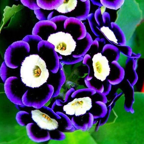 Black Purple Scarce Rare Phantom Petunia Flower Seeds Petunia Flower Flower Seeds Bonsai Flower