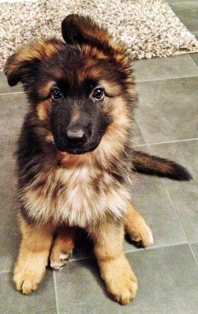 So Cute Gsd Puppy Inlove Puppies Dogs And Puppies