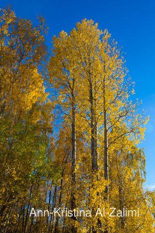Ann-Kristina Al-Zalimi, Populus tremula, haapa, asp, Populus, tree, flora, metsähaapa, quaking aspen, european aspen, aspen, common aspen, autumn, autumn color, syksy, syysväri