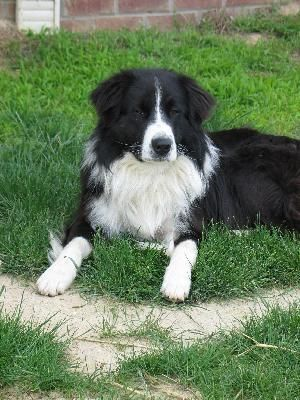 English Shepherd Colors Black And White English Shepherd