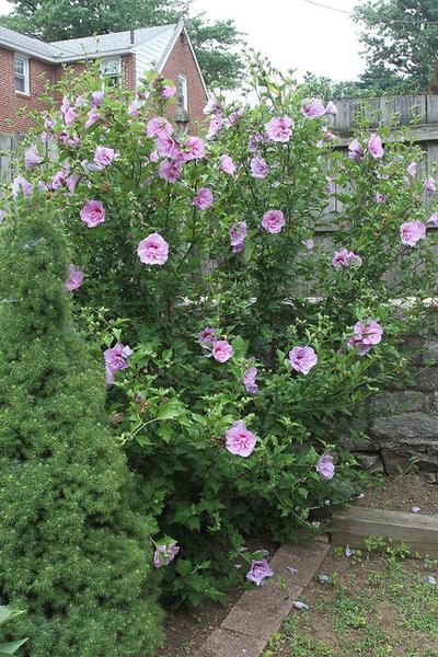 Hibiscus Syriacus Lavender Chiffon Rose Of Sharon Bush Beautiful Flowers Garden Urban Garden