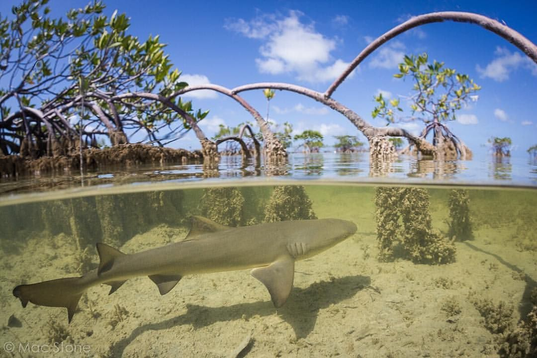 Photo By A Lemon Shark Cruises The Mangroves In Florida Keys Search Of Food These Habitats Are Crucial Nurseries For Juvenile Sharks And Fish