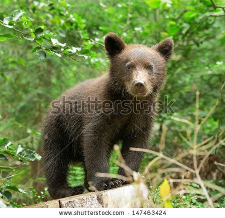 Brown bear cub in a forest
