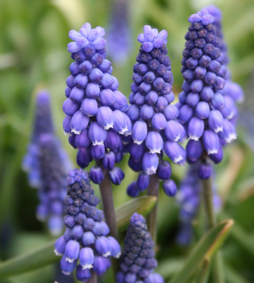 5 Flowering Bulbs To Plant Now For Spring Bulb Flowers Purple Flowers Garden Purple Flowers
