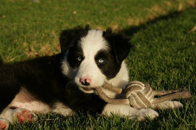 Gumtree Border Collie Puppies Cute animal pictures