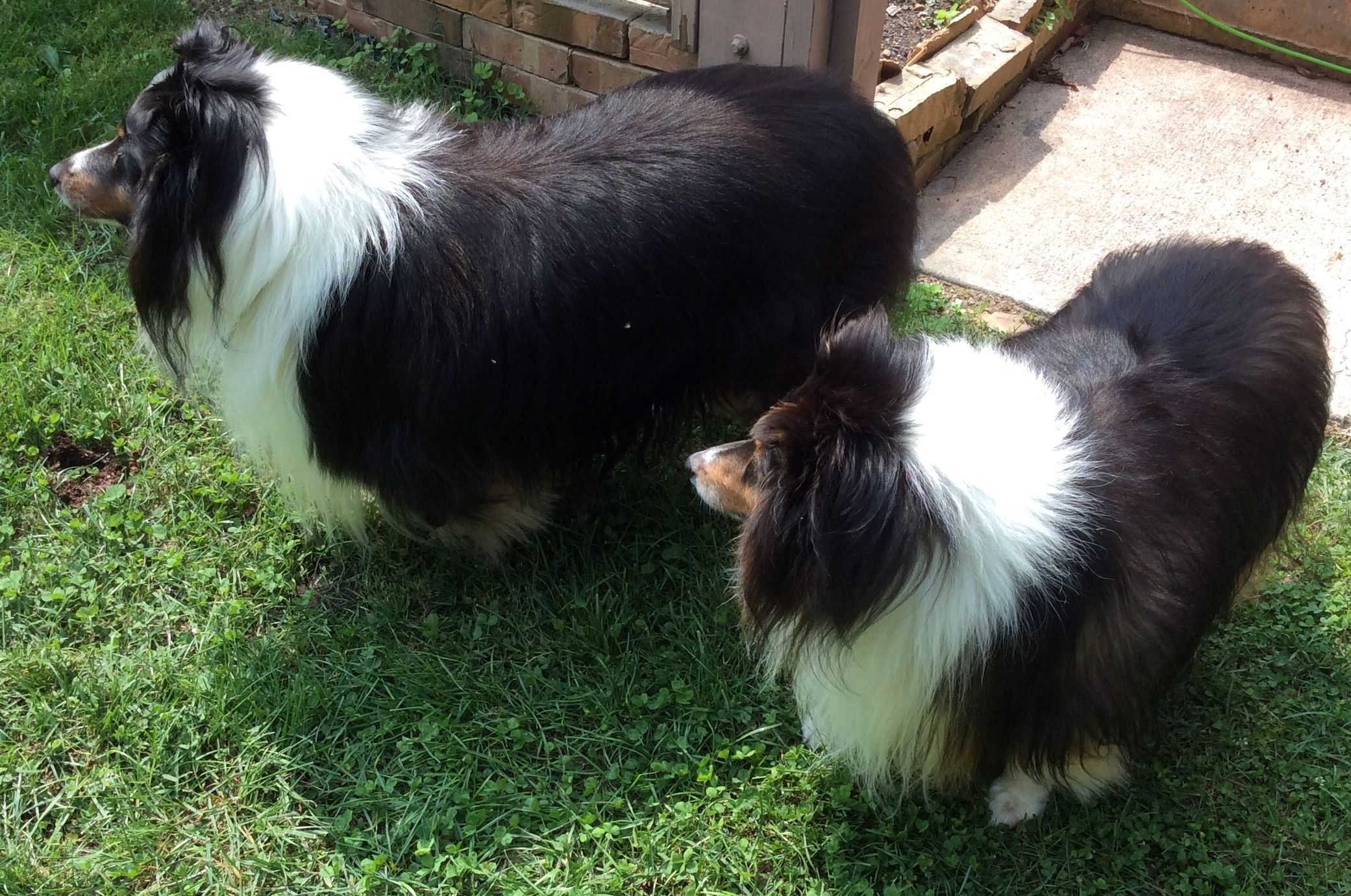 Pin By Wendy Smith On Love My Shelties Sheltie Pets Animals