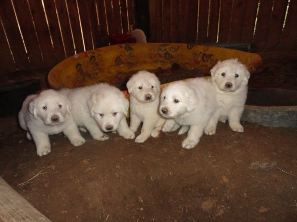 Great Pyrenees puppies spotted on Craigs List. Adorable ...