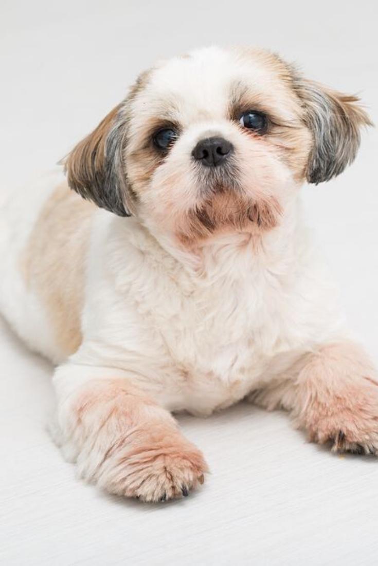 Shih Tzu Puppy Posing On White Background Studio Portrait Of The Dog Shihtzu Shih Tzu Puppy Shih Tzu Puppy Pose