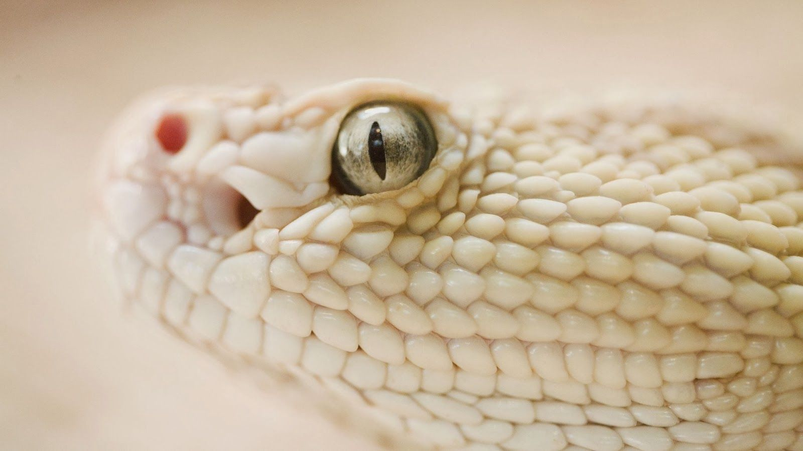white snake wallpapers | hd wallpapers | reptiles, animals, snake