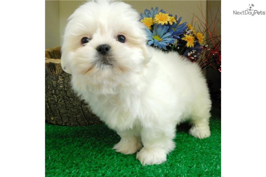 Meet Puppy A Cute Shih Poo Shihpoo Puppy For Sale For 800