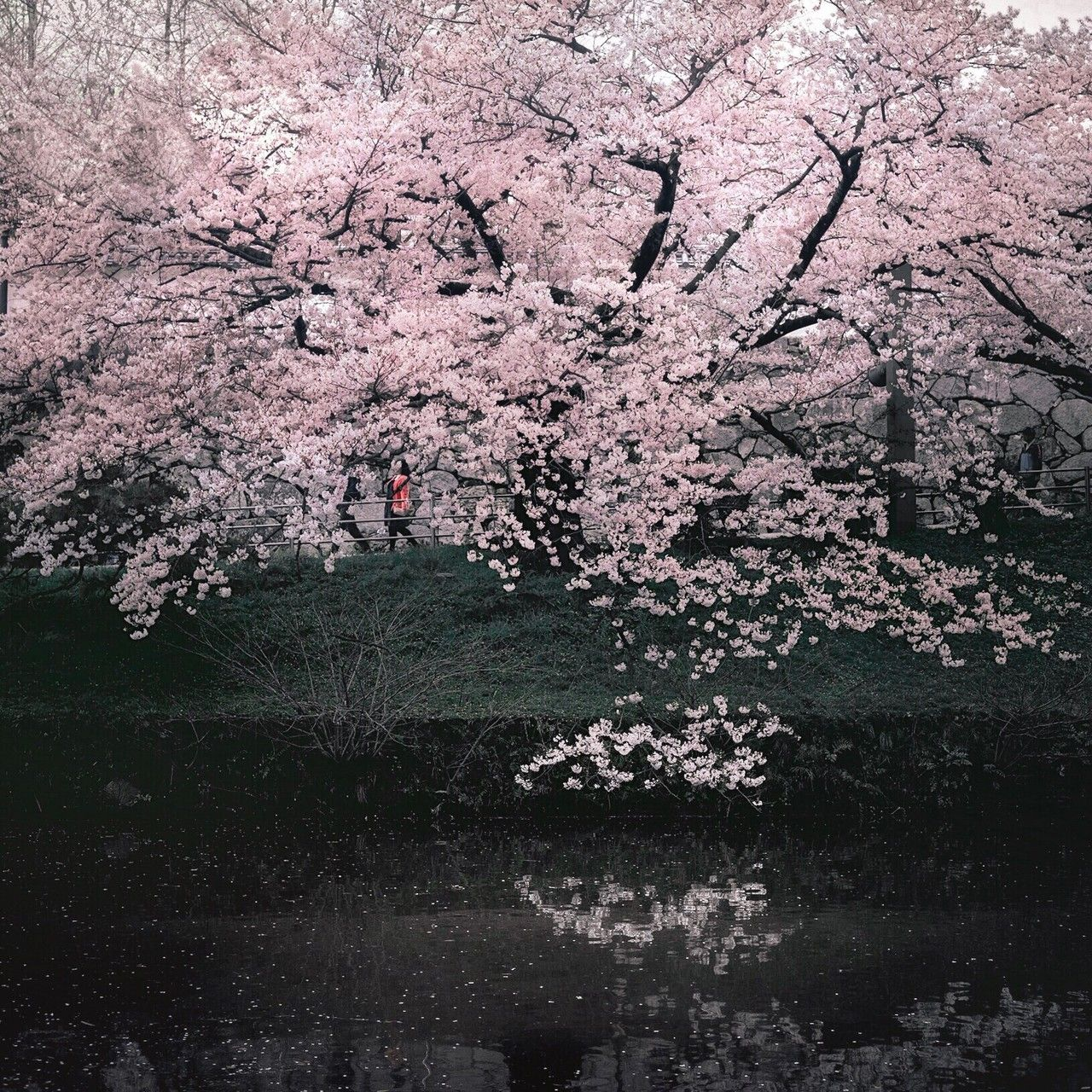 Plant Tree Flower Beauty In Nature Flowering Plant Nature Blossom Water Springtime Freshness Cherry Blossom Tree Photography Tree Id Cherry Blossom