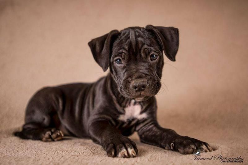 """Meet Romey's Pup Rebecca, a Petfinder adoptable Pit Bull Terrier Dog 