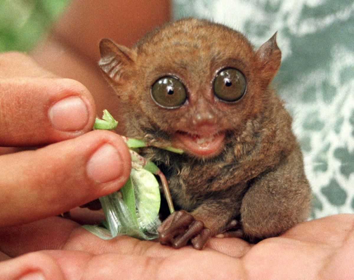 Philippine Tarsiers Photos Top 20 ugliest animals of