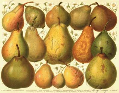'Pears' giclee print via Charting Nature.