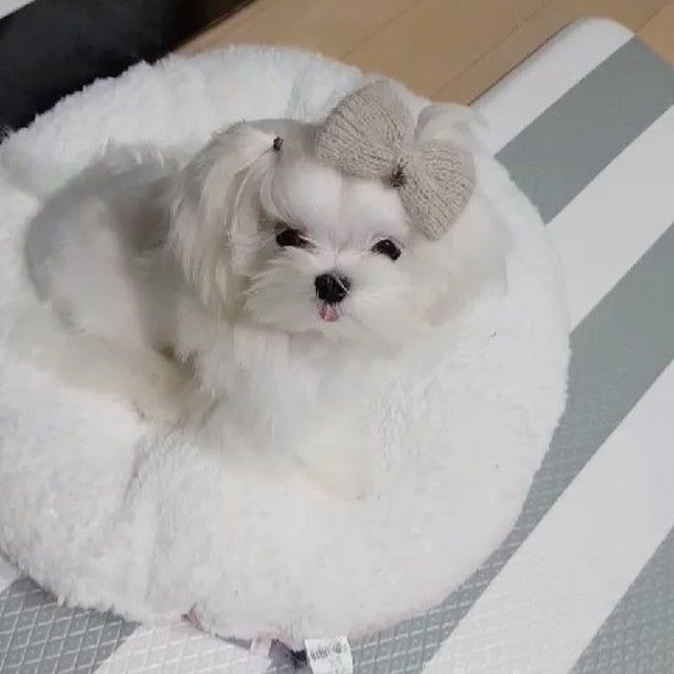 Weekly video Maltese MIRA Why would Mira feel sleepy when filming videos?  @maltese__maya . . . . . Healthy ALWAYS New available puppies are updated  with ...