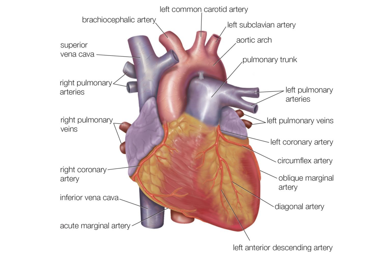The Anatomy Of Your Heart Miscellaneous Pinterest Heart