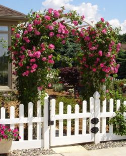 Videos On Pruning And Training Climbing Roses Climbing Roses Growing Roses Little Garden