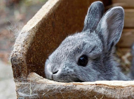 omggggggggg baby chinchilla rabbits..... here goes my productivity out the window.