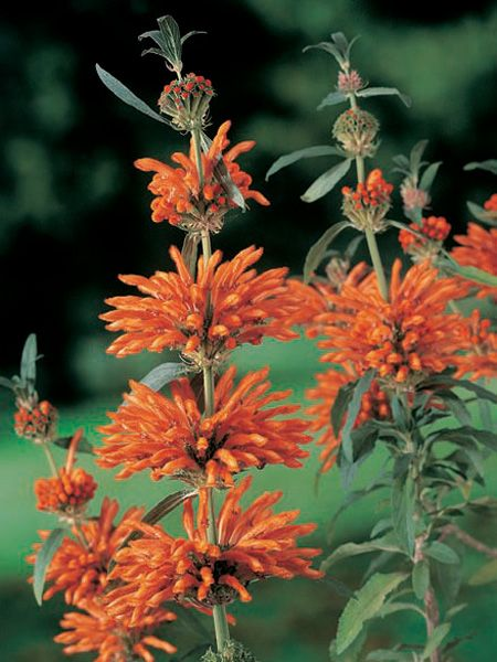 Oderings Garden Centres | Perennials - Leonotis Leonurus