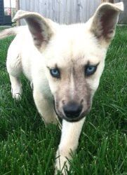Husky And Belgian Malinois Mix Susseste Haustiere Hunde