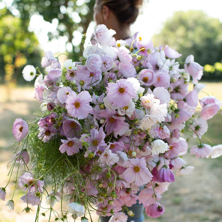 Cosmos Cupcake Blush in 2020 (With images)   Flower farm ...