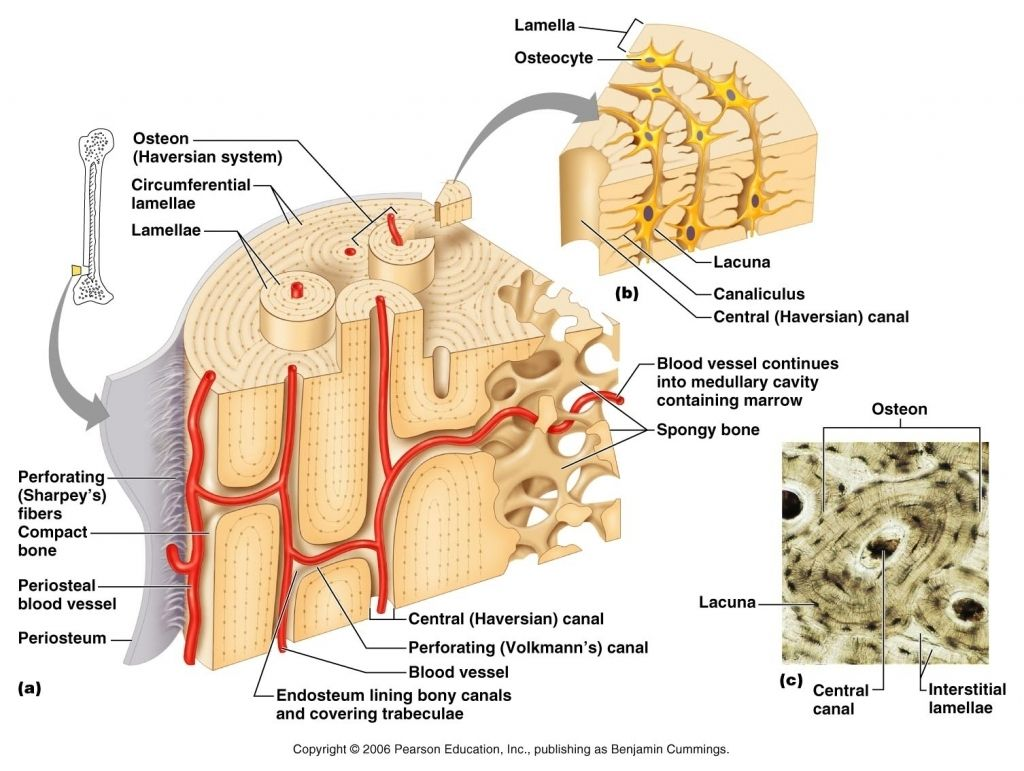 Compact Bone Diagram Compact Bone Diagram Bone Tissue Diagram Labelled Diagram Of A Compact