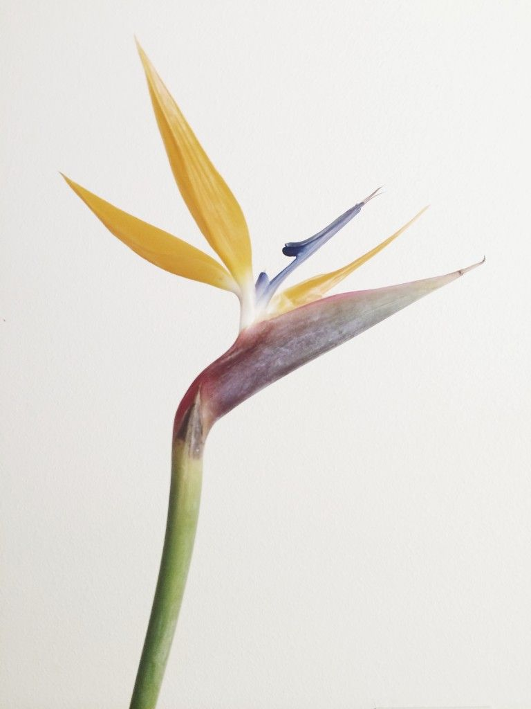 Buds Working In A Family Flower Shop Birds Of Paradise Flower Family Flowers Birds Of Paradise Plant