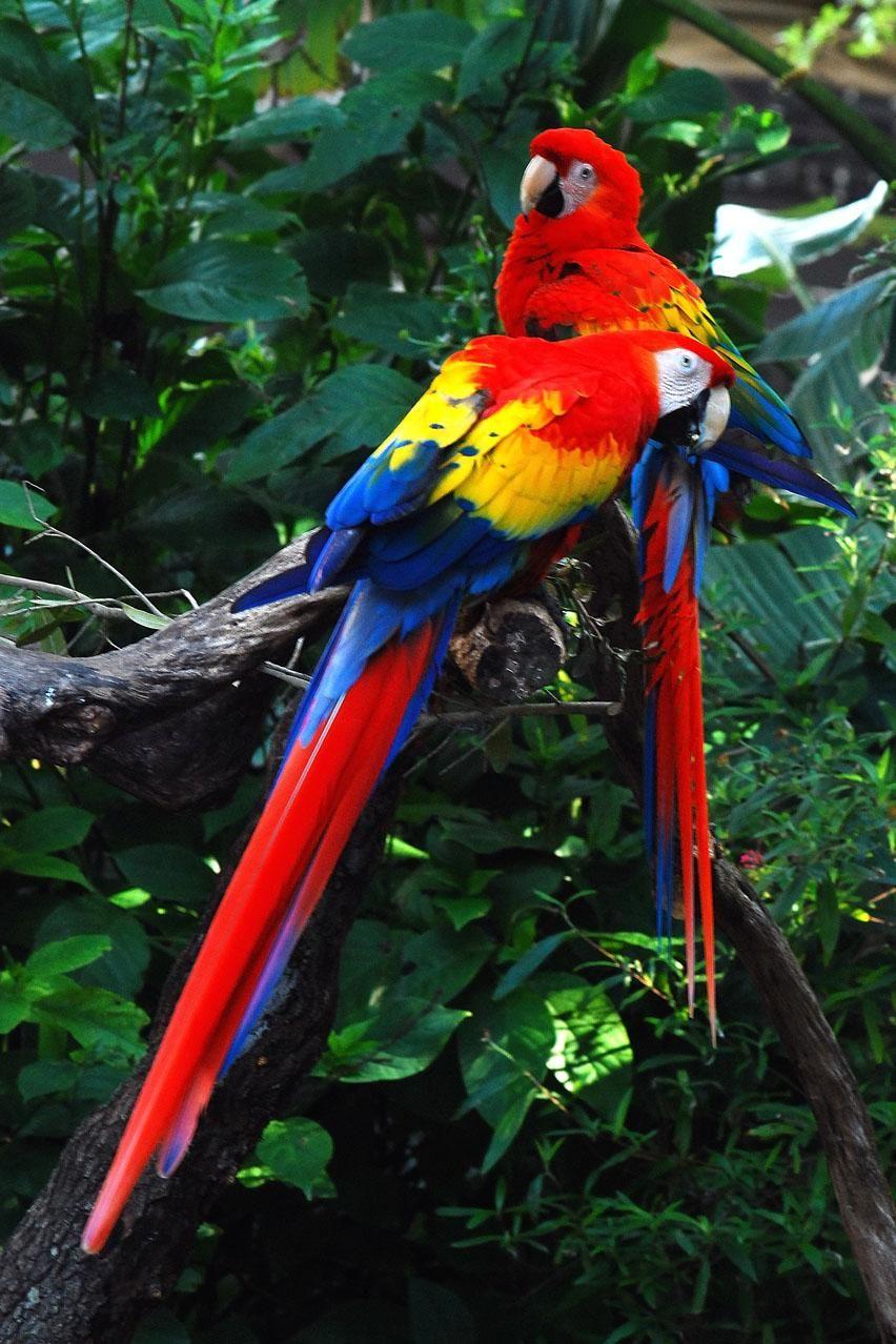 Scarlet Macaws Animais da floresta tropical, Aves