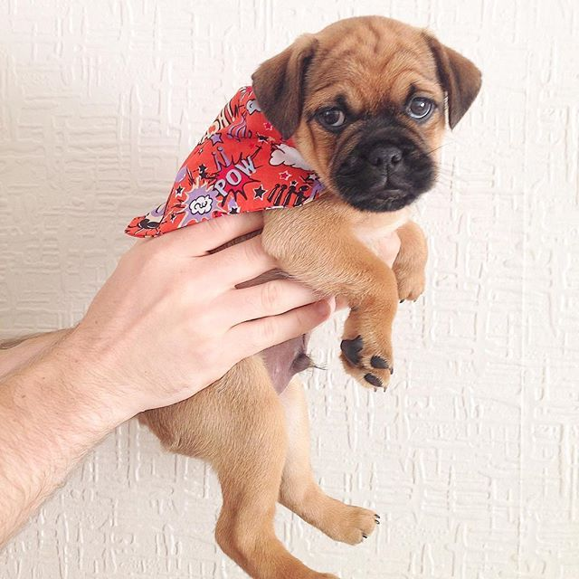 This Is Buzz The Patterpug Pug X Patterdale This Is My Bandana