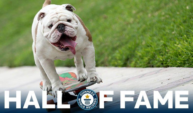 Otto The Skateboarding Bulldog Guinness World Records Bulldog Skateboard Bulldog Funny Cats And Dogs