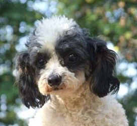Tawny is an adoptable Poodle Dog in Allegan, MI. Tawny is a 5# shy, and sweet retired breeder. Please call Karen for more information. She is the answer lady. 269 694 4703 Emails about dogs will not b...