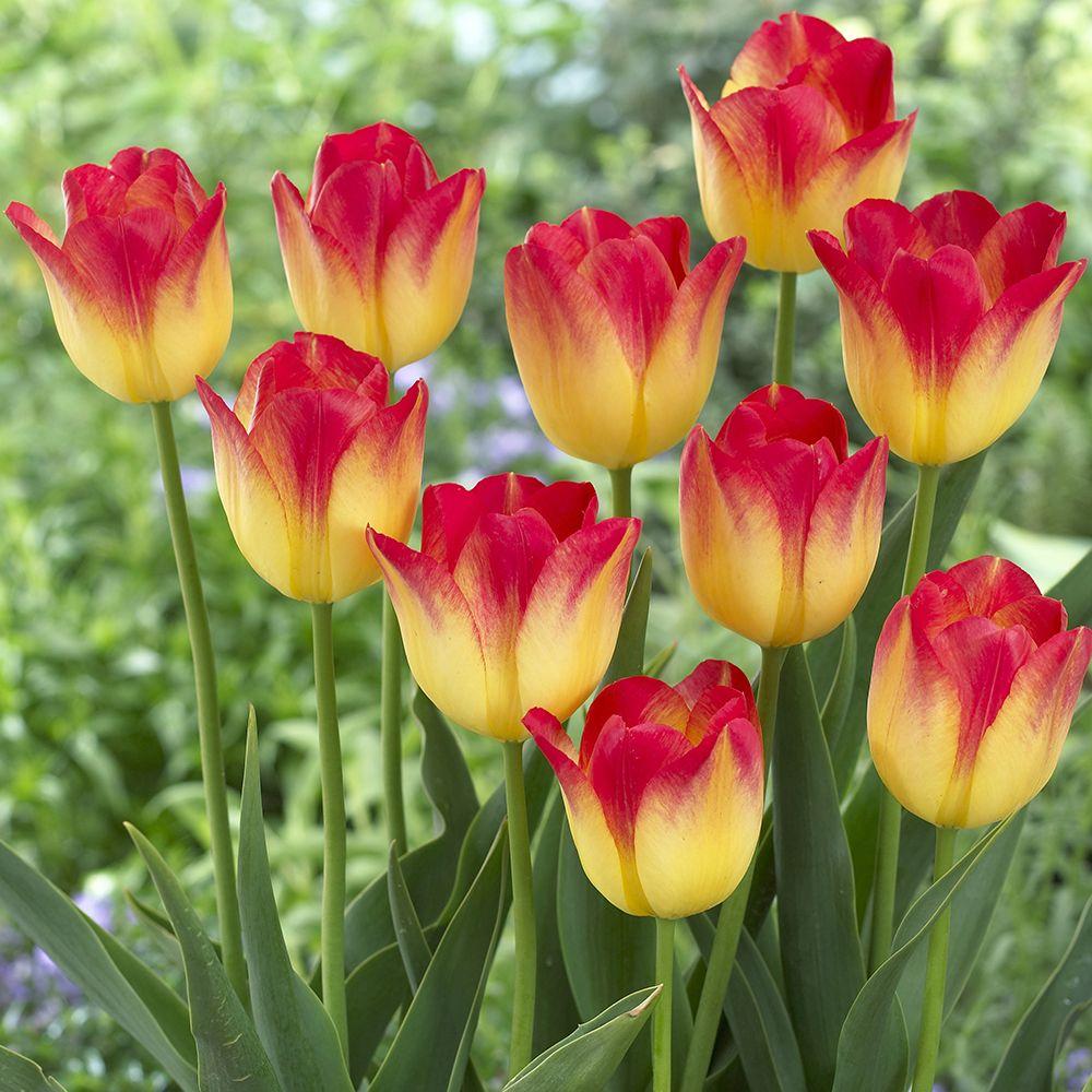 Tulip Suncatcher From Van Zyverden Inc Year Of The Tulip National Garden Bureau Flores Bonitas Como Plantar Tulipanes Flores Exoticas
