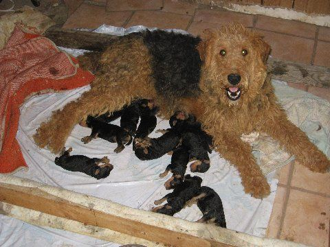 Oorang Airedale Puppies For Sale Airedale Terriers Animal