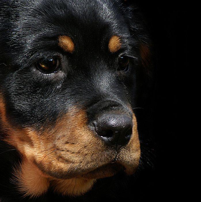 Rottweiler Puppy Dog Breeds