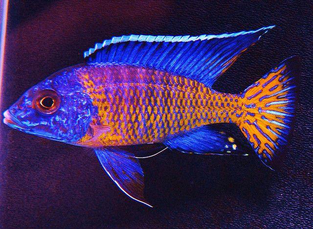 Aulonocara Stuartgranti Ngara Flametail Cichlid Fish Cichlids African Cichlids